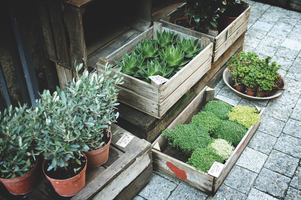 Mosquitoes can ruin a wonderful evening on the patio. With their buzzing and their biting, they can quickly banish you and your guests back indoors. But, did you know your garden can help repel mosquitoes naturally?