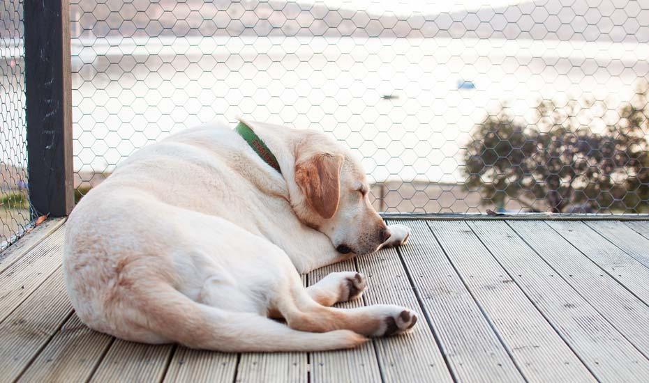lab laying on deck